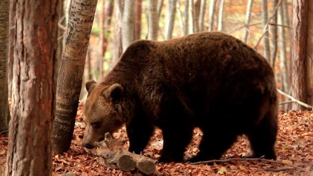 vídeos y material grabado en eventos de stock de hd: brown bear - oso pardo