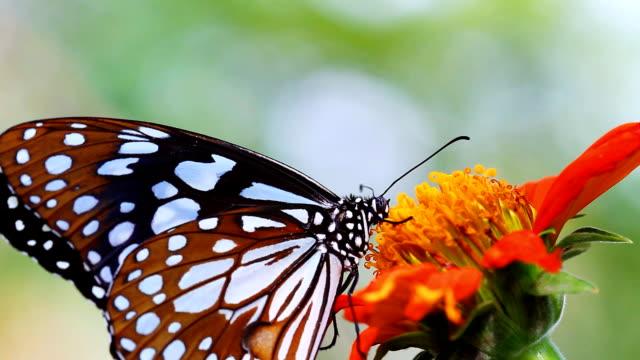 HD: Nahaufnahme wunderschönen Schmetterling.