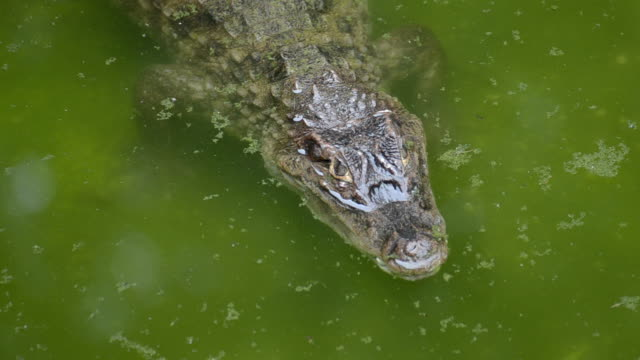 HD:Crocodile alone in the water natural