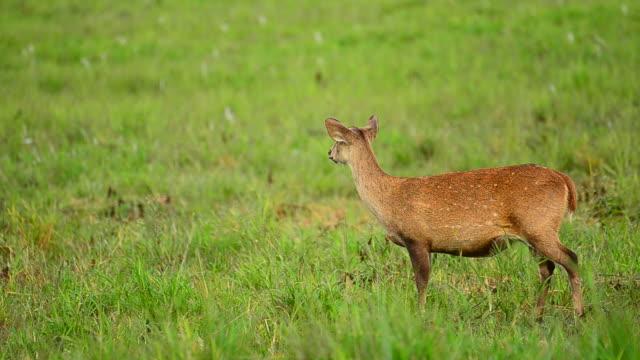 vídeos de stock, filmes e b-roll de hd: deer na natureza - corça