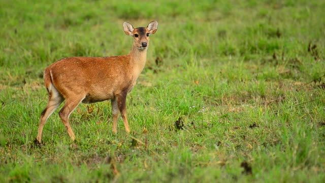 hd:deer in the nature - fawn stock videos & royalty-free footage
