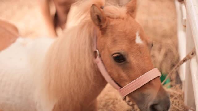 hd:dwarf in livestock - animal ear stock videos & royalty-free footage