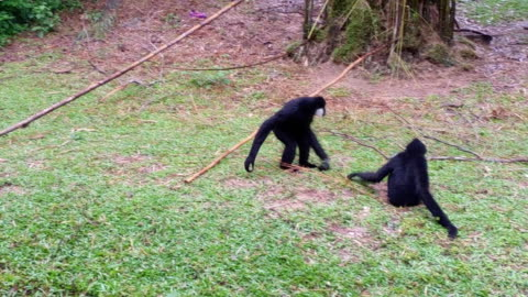 hd:gibbons playing. - monkey stock videos & royalty-free footage