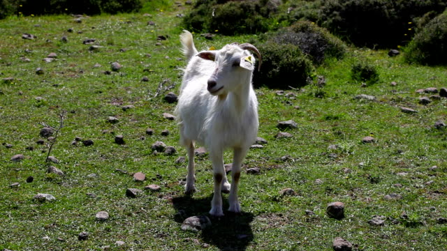hd:goat on green meadow - goat stock videos and b-roll footage