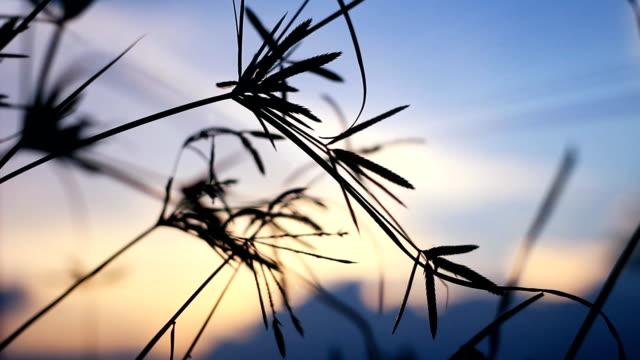 HD:Grass flower on sunset.