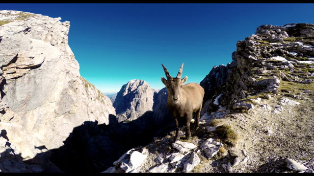 HD-Handheld: Curious Rock Goat