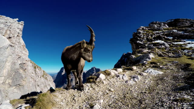 HD-Handheld:Portrait of Young Rock Goat in Natural Environment