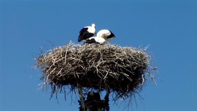 vidéos et rushes de idh : nest des cigognes - petit groupe d'animaux