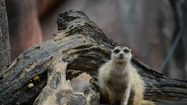 HD:Meerkat animal in wildlife sanctuary
