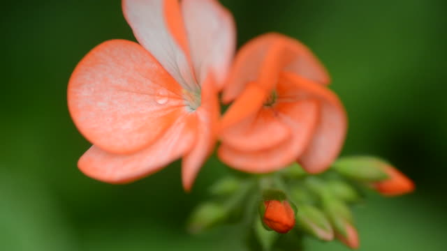 HD:Orange geranium flower close up