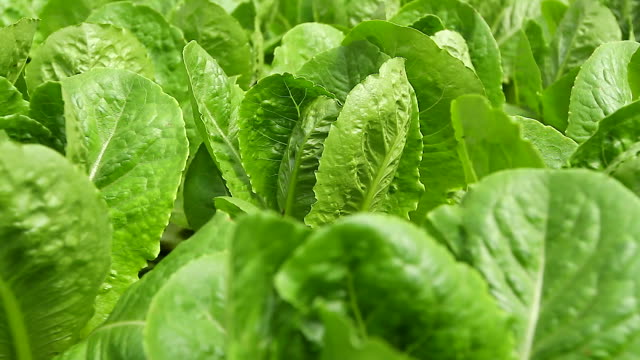 hd:organic hydroponic green leaf lettuce vegetables plantation in aquaponics system. - lettuce stock videos & royalty-free footage