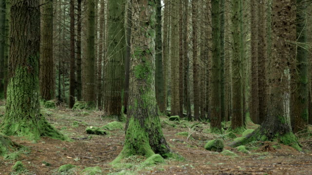 hd: pine tree forest, tollymore park, northern ireland - nadelbaum stock-videos und b-roll-filmmaterial