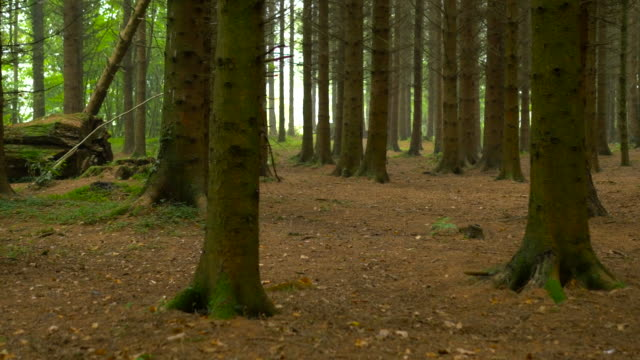 HD:Pine tree forest,tollymore park,Northern Ireland