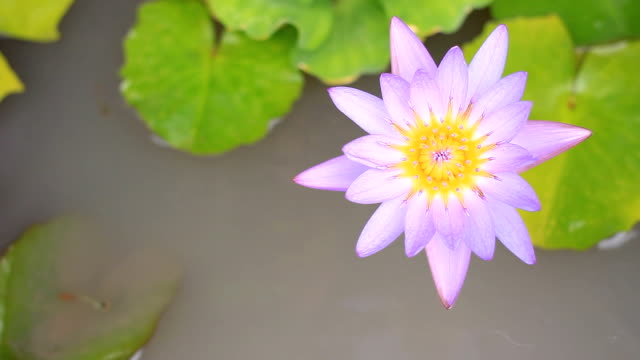 hd:purple water lily in pond. - tiger lily stock videos & royalty-free footage