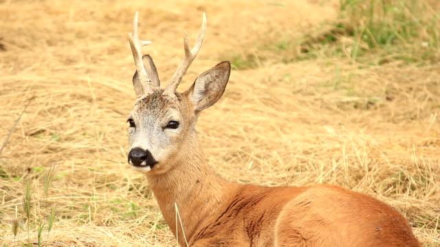 hd:roe deer - deer stock videos & royalty-free footage