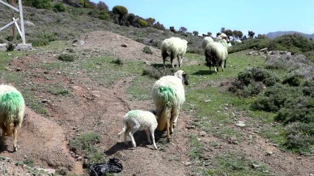 hd:sheep feasting. lambs feasting in a pastoral environment. - pasture stock videos & royalty-free footage