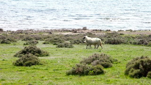 hd :羊 feasting.、カメラを見ている、徒歩ですぐの距離にございます。 - sheep点の映像素材/bロール