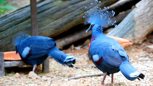 HD:Victoria crowned pigeon (Goura victoria).