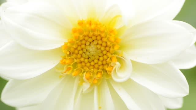 HD:White bloem close-up achtergrond