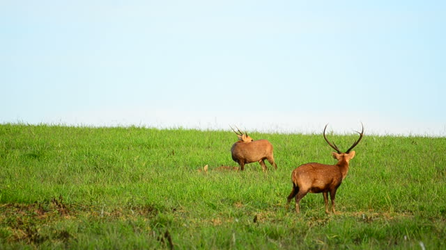 HD: Wildlife Sanctuary con Goitered Gazzella