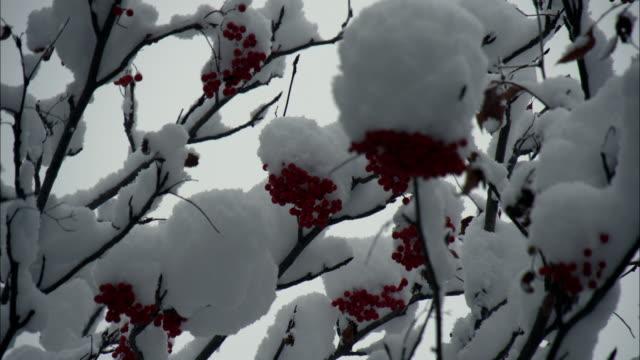 the snow closeup that had piled up on the rowan
