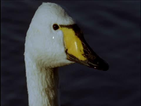 head and beak of whooper swan - イーストアングリア点の映像素材/bロール