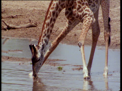 vidéos et rushes de head and feet of giraffe drinking from river - cou d'animal