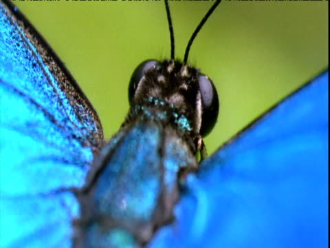 """head and iridescent blue wings of ulysses swallowtail butterfly, queensland - """"bbc natural history"""" stock videos & royalty-free footage"""