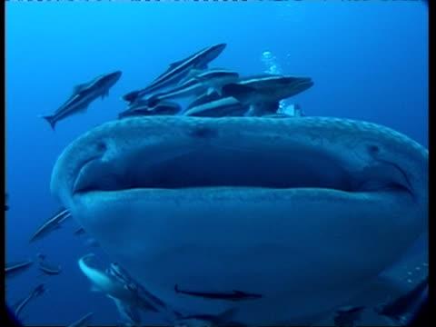 ms head and mouth of whale shark, smaller fish swim close by, underwater view, australia - 共生関係点の映像素材/bロール