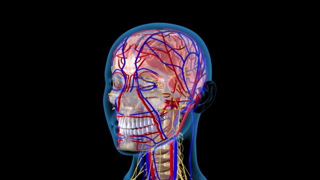 head blood vessels and nerves - human vein stock videos & royalty-free footage