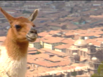 head & neck of domesticated llama fg w/ roofs of city buildings in valley below soft bg. iconic peru, pack animal, hair course, fine, textile... - animal neck stock videos & royalty-free footage