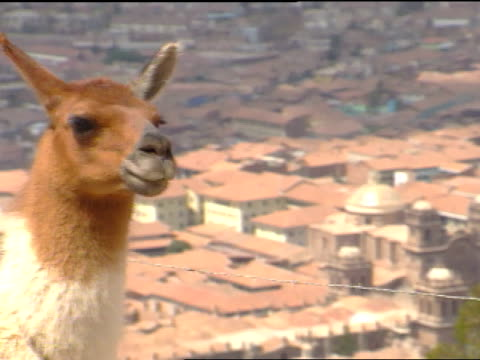PERU SOUTH AMERICA * MS Head neck of domesticated llama FG w/ roofs of city buildings in valley below SOFT BG Iconic Peru pack animal hair course...