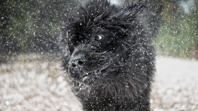 slo mo head of a newfoundland dog shaking off water - pure bred dog stock videos and b-roll footage