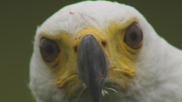 cu head of african fish eagle looking directly to camera - african fish eagle stock videos & royalty-free footage