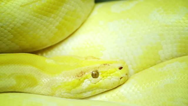 Head of Albino burmese python