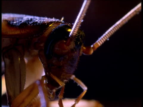 Head of American cockroach, USA