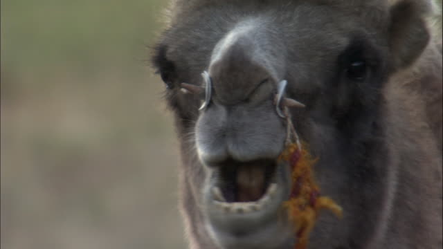 head of bactrian camel chewing the cud, kalamaili nature reserve, xinjiang, china - grasen stock-videos und b-roll-filmmaterial