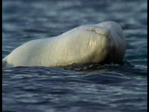 head of beluga rubbing on surface of water, somerset island, canada - rubbing stock videos & royalty-free footage