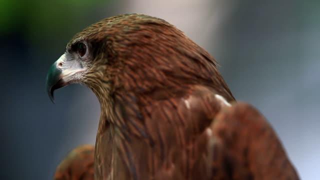 vídeos y material grabado en eventos de stock de jefe de milano negro pájaro - halcón