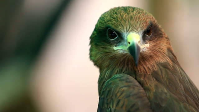 head of black kite bird - braun stock-videos und b-roll-filmmaterial