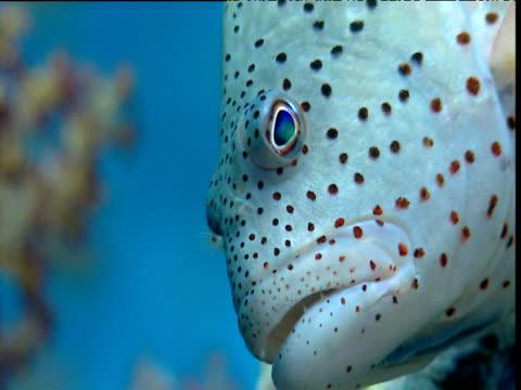 vídeos de stock e filmes b-roll de head of blackside hawkfish, red sea - cabeça de animal