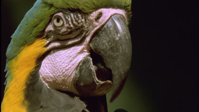 Head of Blue and Yellow Macaw as it looks around Available in HD.