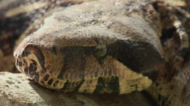 vídeos y material grabado en eventos de stock de cu head of boa constrictor (boa constrictor) resting on tree / manaus, amazonas, brazil - animal mouth