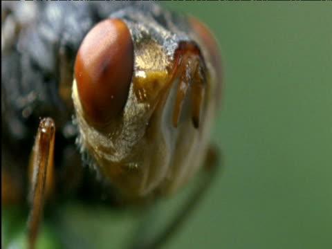 head of botfly brazil - 微小生物点の映像素材/bロール
