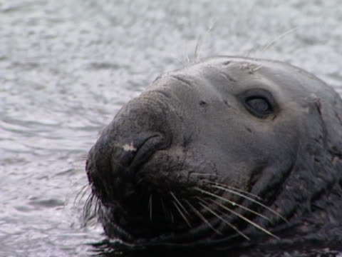 bcu head of bull grey seal - kegelrobbe stock-videos und b-roll-filmmaterial