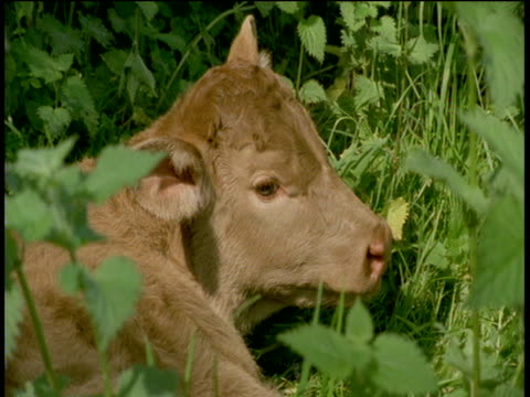 head of calf amongst nettles, devon - kalb stock-videos und b-roll-filmmaterial