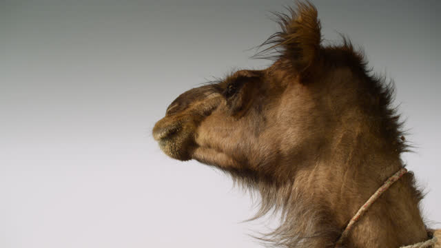 head of camel looks around, india. - camel stock videos & royalty-free footage