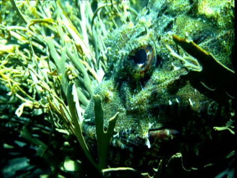 Head of camouflaged scorpionfish amongst seaweeds, Poor Knights Island, New Zealand