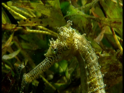 Head of camouflaged seahorse as it clings to seaweed then swims away, Shark Bay, Western Australia