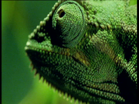 head of chameleon as it looks around - bbc stock videos and b-roll footage
